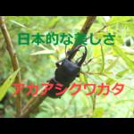 日本的な美しさ!アカアシクワガタの生態・採集(観察)・飼育方法を紹介