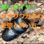 黒いダイヤ!オオクワガタの生態・採集(観察)方法・飼育方法を紹介