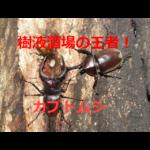 樹液酒場の王者!カブトムシの生態・採集(観察)方法・飼育方法を紹介