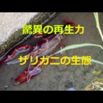 田んぼ近くの用水路によくいる!ザリガニの生態・採集(観察)方法・飼育方法を紹介
