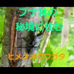 ブナ林の秘境に住む!ヒメオオクワガタの生態・採集(観察)方法・飼育方法を紹介