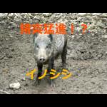 猪突猛進!?犬並みの嗅覚!イノシシの生態と農作物被害の予防策について考察