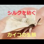 シルクを紡ぐ~カイコの生態と飼育方法 かつての日本の主産業【養蚕】を支えたお蚕様