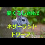 愛くるしさNo.1!~ネザーランドドワーフの歴史・価格・飼育方法を紹介