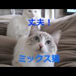 丈夫で長生きしやすい!ミックス猫の魅力・仕入れと血統書について・飼育の注意点を紹介