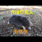 トンネル掘り名人!知られざるモグラの生態を紹介 【モグラ塚とは?】