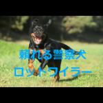 しつけをしっかりすれば頼れる賢い犬に~ロットワイラーの歴史・価格・飼育方法を紹介