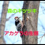 森のキツツキさん~アカゲラの生態を紹介