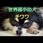 世界最小の犬~チワワの歴史・価格・飼育方法を紹介