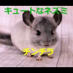 もふもふの毛でキュートなネズミの仲間~チンチラの歴史・価格・飼育方法を紹介