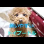 初心者でも飼いやすい人気犬~トイプードルの歴史・価格・飼育方法を紹介