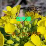 養蜂~二ホンミツバチの生態について紹介 【蜂球】