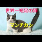 世界一足の短いネコ~マンチカンの歴史・価格・飼育方法を紹介
