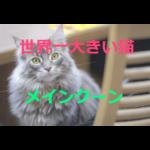 世界一大きいネコ~メインクーンの歴史・価格・飼育方法を紹介