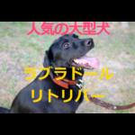 大型犬の人気トップレベル~ラブラドールレトリバーの歴史・価格・飼育方法を紹介