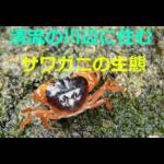 子どもに大人気~サワガニの生態・採集方法・飼育方法を紹介