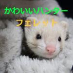 かわいらしい顔のハンター~フェレットの特徴・寿命・飼育方法を紹介