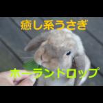 もふもふの癒し系うさぎ~ホーランドロップの生態・飼育方法を紹介