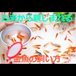 古来から親しまれる~金魚の生態・飼育方法を紹介