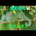 変幻自在の体色~カメレオンの生態・採集方法・飼育方法を紹介