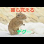 芸も覚えるネズミ~デグーの生態・飼育方法を紹介
